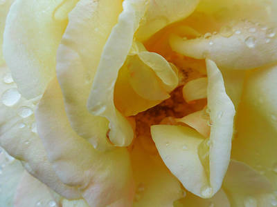 Photograph - Yellow Wet Rose by Captain Debbie Ritter