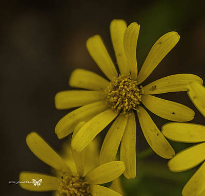 Photograph - Yellow Wild Daisy 2  by Debra Forand