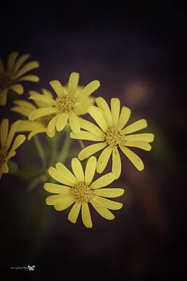 Photograph - Yellow Wild Daisy  by Debra Forand