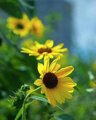 Photograph - Yellow Wild Sun Flowers by Brian Kinney