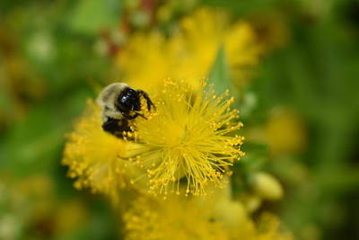 Photograph - Yellow Wildflower And The Bee by Nina Kindred