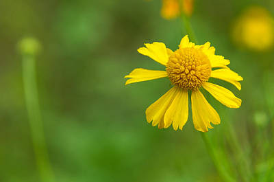 Photograph - Yellow Wildflower by Christopher L Thomley