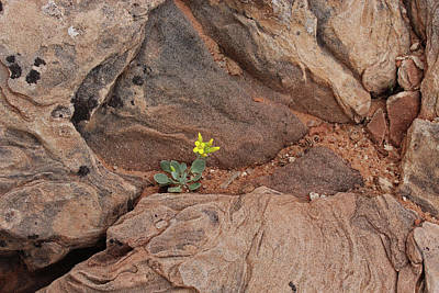 Photograph - Yellow Wildflower In Utah's Arches National Park by Elizabeth Rose
