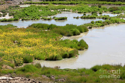 Yellow Wildflowers At Mud Volcano Area In Yellowstone National Park Art Print by Louise Heusinkveld