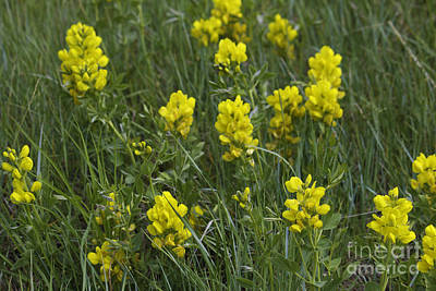 Photograph - Yellow Wildflowers by Donna L Munro