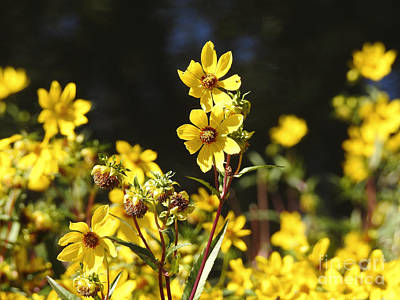 Photograph - Yellow Wildflowers by Ella Kaye Dickey
