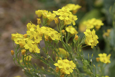 Photograph - Yellow Wildflowers by Ellen Tully