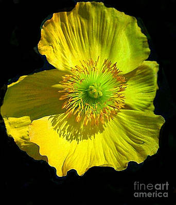 Yellow Windflower Original