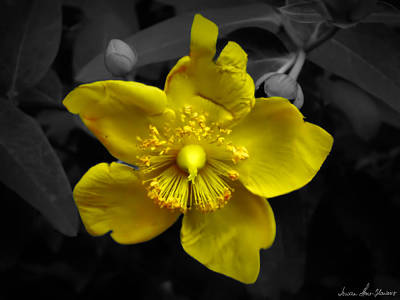Photograph - Yellow Wood Anemone by Iowan Stone-Flowers