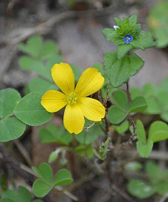 Photograph - Yellow Wood Sorrel And Blue Corn Speedwell by rd Erickson