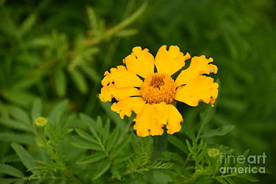 Photograph - Yellow Zinnia by Mark McReynolds