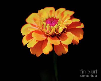 Photograph - Yellow Zinnia Sunshine by Karen Adams