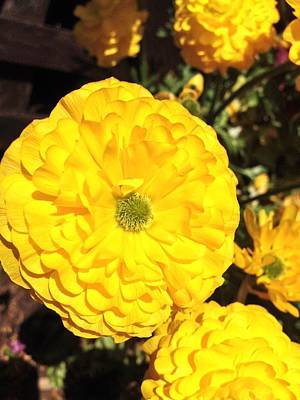 Photograph - Yellow Zinnias by Lynda Anne Williams