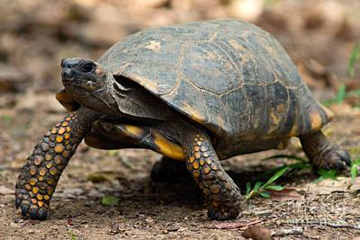 Yellowfoot Tortoise Art Print