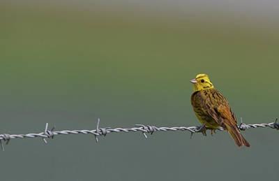 Photograph - Yellowhammer by Peter Walkden