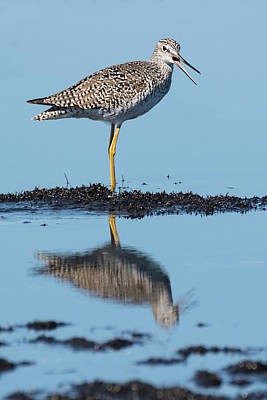 Photograph - Yellowlegs Song by Dawn Currie