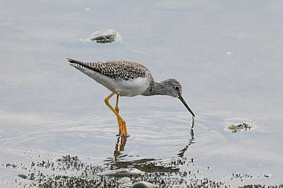 Photograph - Yellowlegs With Fish by Loree Johnson