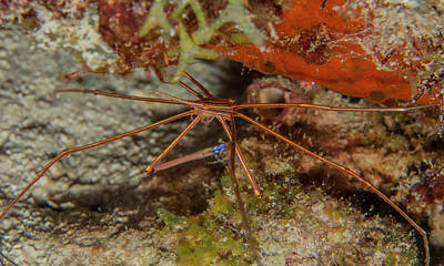 Photograph - Yellowline Arrow Crab by Jean Noren