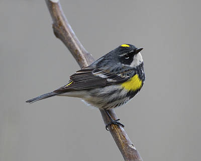 Photograph - Yellowrump  by Timothy McIntyre