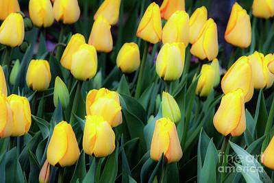 Photograph - Yellows by David Millenheft