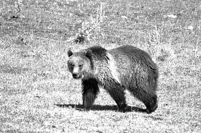 Photograph - Yellowsgone Grizzly Cub 2018 Black And White by Adam Jewell