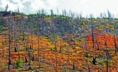 Dead Tree Trunk Digital Art - Yellowstone - Forest Burn 2 by Steve Ohlsen