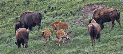 Photograph - Yellowstone Baby Bison by Dan Sproul