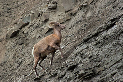 Photograph - Yellowstone Bighorn Sheep by Roger Mullenhour
