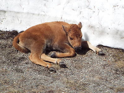 Photograph - Yellowstone Bison Calf  by Cindy Croal