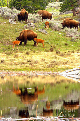 Photograph - Yellowstone Bison Family Reflections by Adam Jewell