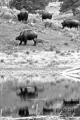 Photograph - Yellowstone Bison Family Reflections Black And White by Adam Jewell