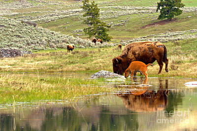 Photograph - Yellowstone Bison Family Time by Adam Jewell