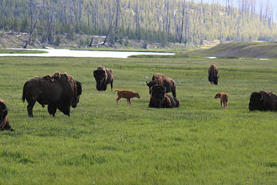 Photograph - Yellowstone Bison Herd by George Jones