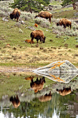 Photograph - Yellowstone Bison Hillside Reflections by Adam Jewell