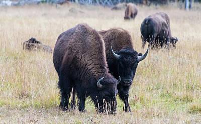 Photograph - Yellowstone Bison by Jennifer Ancker
