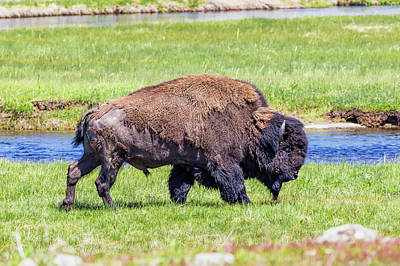 Classical Masterpiece Still Life Paintings - Yellowstone Bison by Mike Centioli