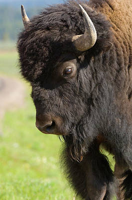Yellowstone Bison Portrait Art Print