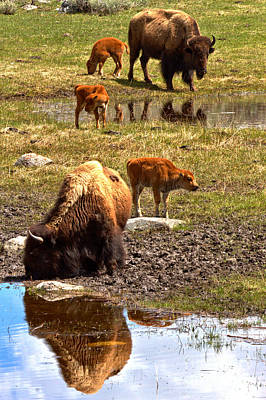 Photograph - Yellowstone Bison Reflections by Adam Jewell