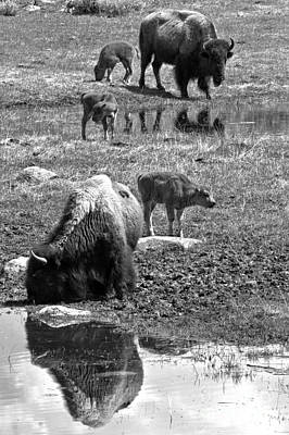 Photograph - Yellowstone Bison Reflections Black And White by Adam Jewell