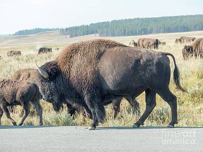 Photograph - Yellowstone Bison by Rod Jones
