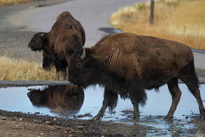 Photograph - Yellowstone Bison by Shirley Mitchell