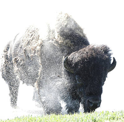 Yellowstone Bison Splashing Original by Dan Sproul