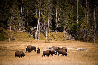 Yellowstone Bison Art Print