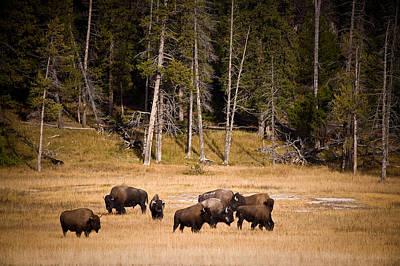 Yellowstone Bison Art Print by Steve Gadomski