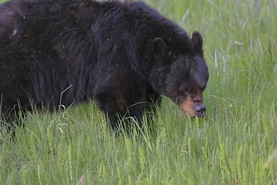 Photograph - Yellowstone Black Bear Grazing by Dan Sproul
