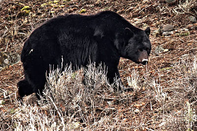 Photograph - Yellowstone Black Bear In The Brush by Adam Jewell