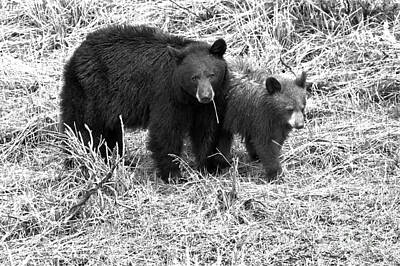 Photograph - Yellowstone Black Bears In The Brush 2018 Black And White by Adam Jewell