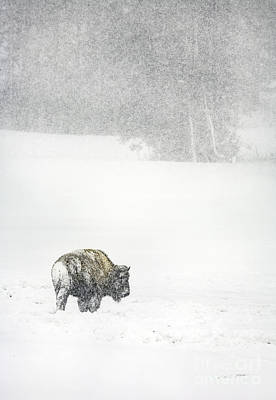 Photograph - Yellowstone Buffalo In Winter by Craig J Satterlee