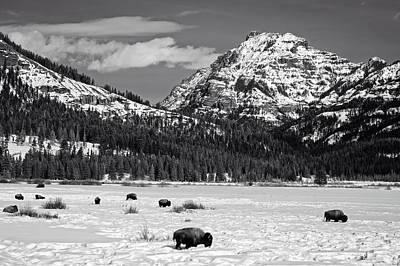 Photograph - Yellowstone Buffalo by L O C