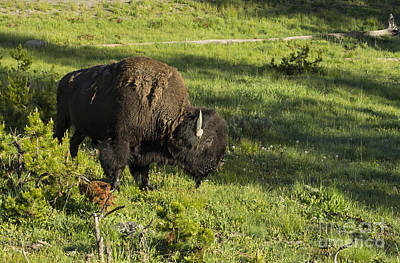 Photograph - Yellowstone Buffalo by Louise Magno